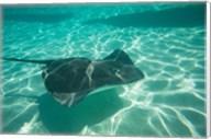 Stingray in the Pacific Ocean, Moorea, Tahiti, French Polynesia Fine-Art Print