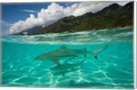 Sharks in the Pacific Ocean, Moorea, Tahiti, French Polynesia Fine-Art Print