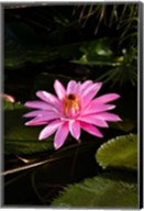 Close-up of Water Lily Flower in a Pond, Tahiti, French Polynesia Fine-Art Print