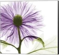 Lavish Purple Chrysanthemum Fine-Art Print