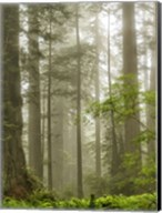 North Coast Redwoods Fine-Art Print