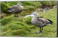 Blue-Winged Goose, Cyanochen Cyanoptera Bale Mountains National Park Ethiopia Fine-Art Print