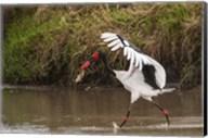 Saddle-Billed Stork, with Fish, Kenya Fine-Art Print