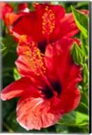 Hibiscus, Tunisia Fine-Art Print
