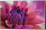 Dahlia Centre Pink Purple Fine-Art Print