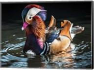 Mandarin Duck Fine-Art Print