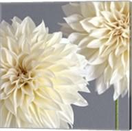 2 Cream Dahlias on Gray Fine-Art Print