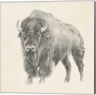 Western Bison Study Fine-Art Print