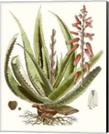 Antique Aloe I Fine-Art Print