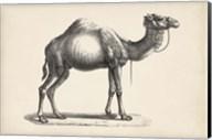 Dromedary Fine-Art Print