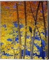 Autumn Aspen Raven Fine-Art Print