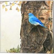 Mountain Bluebird On Dead Aspen Fine-Art Print