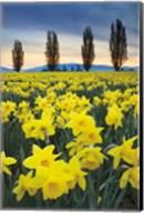 Skagit Valley Daffodils I Fine-Art Print