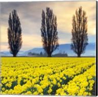 Skagit Valley Daffodils II Fine-Art Print