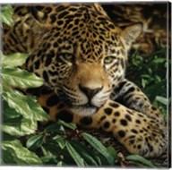 Jaguar - At Rest Fine-Art Print