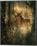 Whitetail Deer - A Golden Moment Fine-Art Print