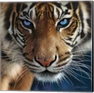 Tiger - Blue Eyes Fine-Art Print