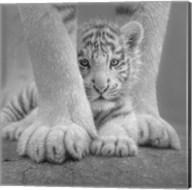 White Tiger Cub - Sheltered - B&W Fine-Art Print