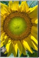 Sunflower Close Up Fine-Art Print