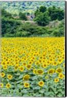 Sunflower Field 01 Fine-Art Print