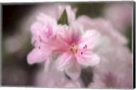 Pink Azaleas Fine-Art Print