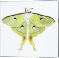 Butterfly Collection Luna Moth Fine-Art Print