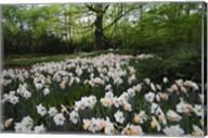 Keukenhof Botanical Daffodils Garden Fine-Art Print
