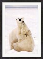 Playful Polar Bears Wall Poster
