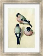 Three studies of a bullfinch Fine-Art Print