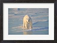 Polar Bear Afloat Fine-Art Print