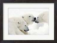 Three Polar Bears Nuzzling Noses Fine-Art Print