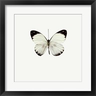 White Butterfly 1 Fine-Art Print