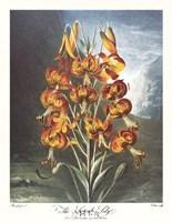 The Superb Lily Framed Print