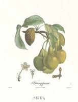 Pears/Frangipane Framed Print