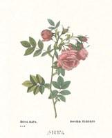 Roses VI Framed Print
