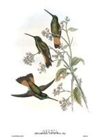 Helianthea Dichroura/Hummingbirds Framed Print