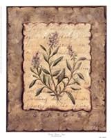 Vintage Herbs-Sage Framed Print